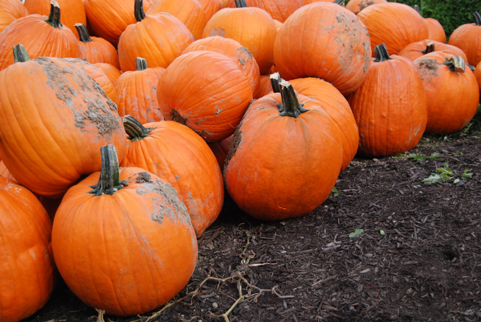 It's Pumpkin Season with lots and lots of pumpkins to choose from (Rebecca Mongrain/ Seattle Refined)