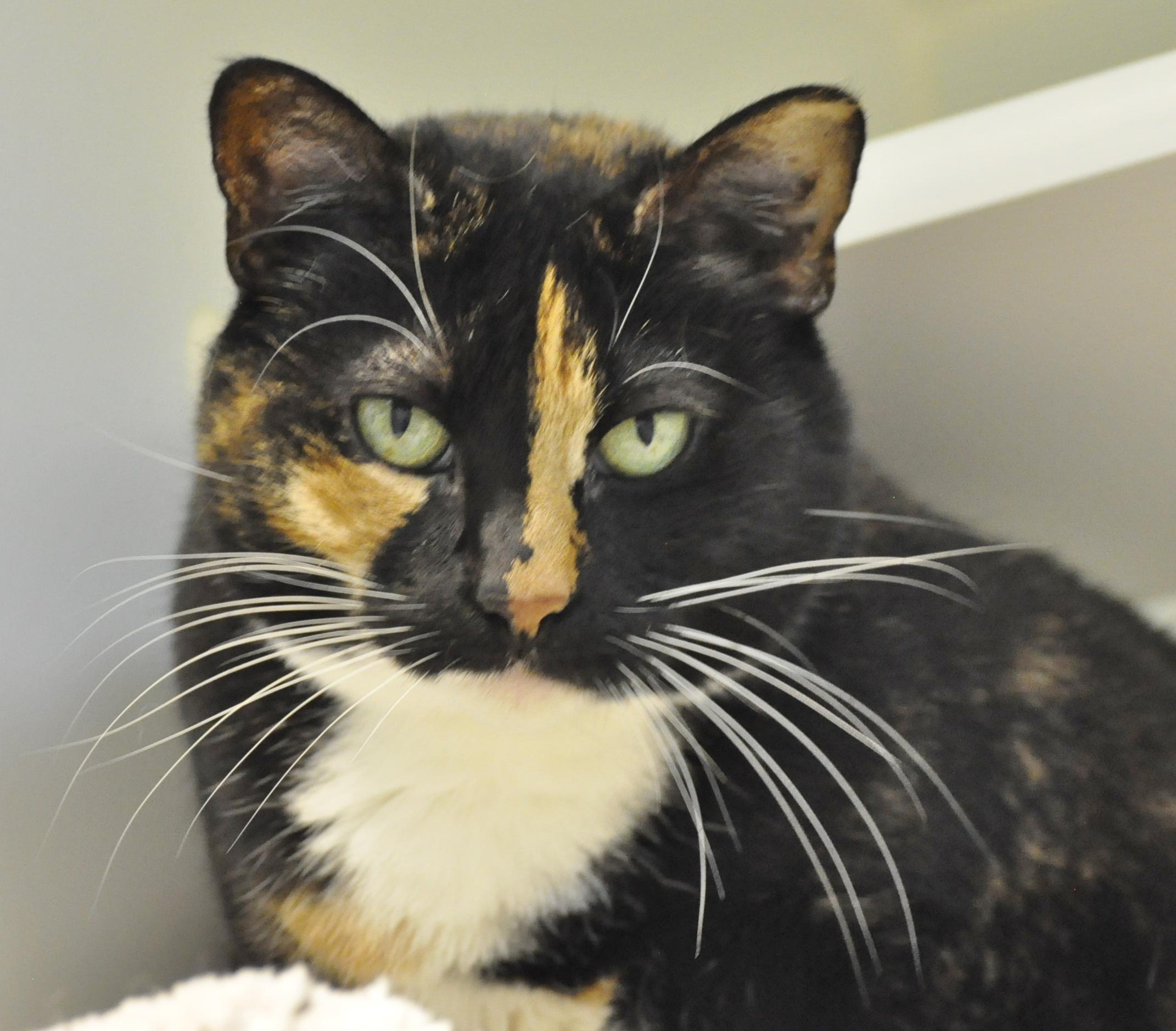 Friendly and stunning, my name is Madison. I'm a five year old tortoiseshell lady in search of my special family! I'd do best with older kids so I have some time to settle in. I'm a charming soul with a big heart to share with you - visit soon!