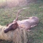 Hunter shoots elk in Adair County