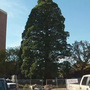 St. Lukes gets ready to move Idaho's largest sequoia tree this week