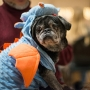 Photos: 3rd annual Pug-O-Ween to benefit Pacific Pug Rescue