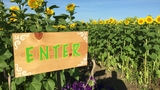 Cecil farm to host Sunflower Fest this weekend
