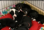 New litter of dogs named after fallen officers 2 (ABC7).PNG