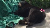 Bear gets darted, takes nap and trip