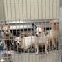 Hoarder who had 144 dogs removed from home will not be charged