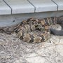 Timber rattlesnake spotted near lighthouse in Outer Banks