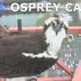 Watch live: The return of Osprey tower cam