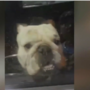 Las Vegas man rescues bulldog left in hot car outside the gym