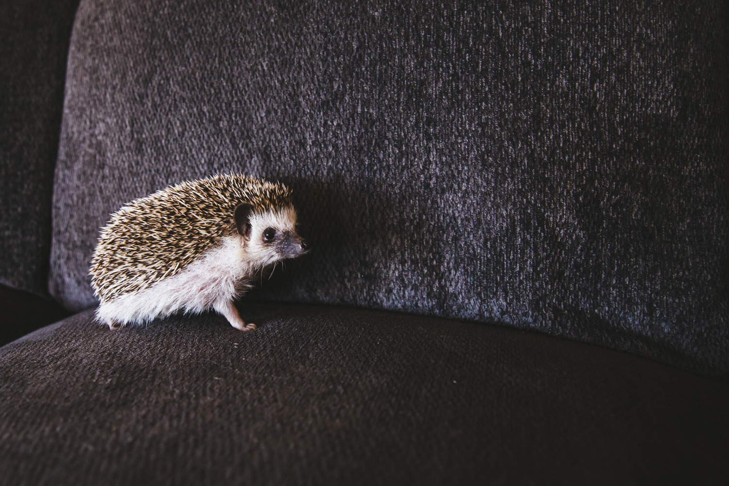 "We've had dogs. We've had cats. Heck, we've even had birds! We haven't yet had a hedgehog so this is a HUGE day at RUFFined! Meet Pip the African Pygmy Hedgehog. Pip is one and can be described as a ""quill potato."" Pip has been one adventurous hedgehog, exploring the PNW with his parents - from ferry trips to hikes to pumpkin patches! Pip likes running on his wheel, mealworms, destroying cat toys, forehead rubs and playing in the grass. Pip dislikes baths, daylight, strangers, loud noises, belly rubs and being on a diet. You can follow along with Pip on instagram, @pip.thehedgehog. The Seattle RUFFined Spotlight is a weekly profile of local pets living and loving life in the PNW. If you or someone you know has a pet you'd like featured, email us at hello@seattlerefined.com or tag #SeattleRUFFined and your furbaby could be the next spotlighted! (Image: Sunita Martini / Seattle Refined)."
