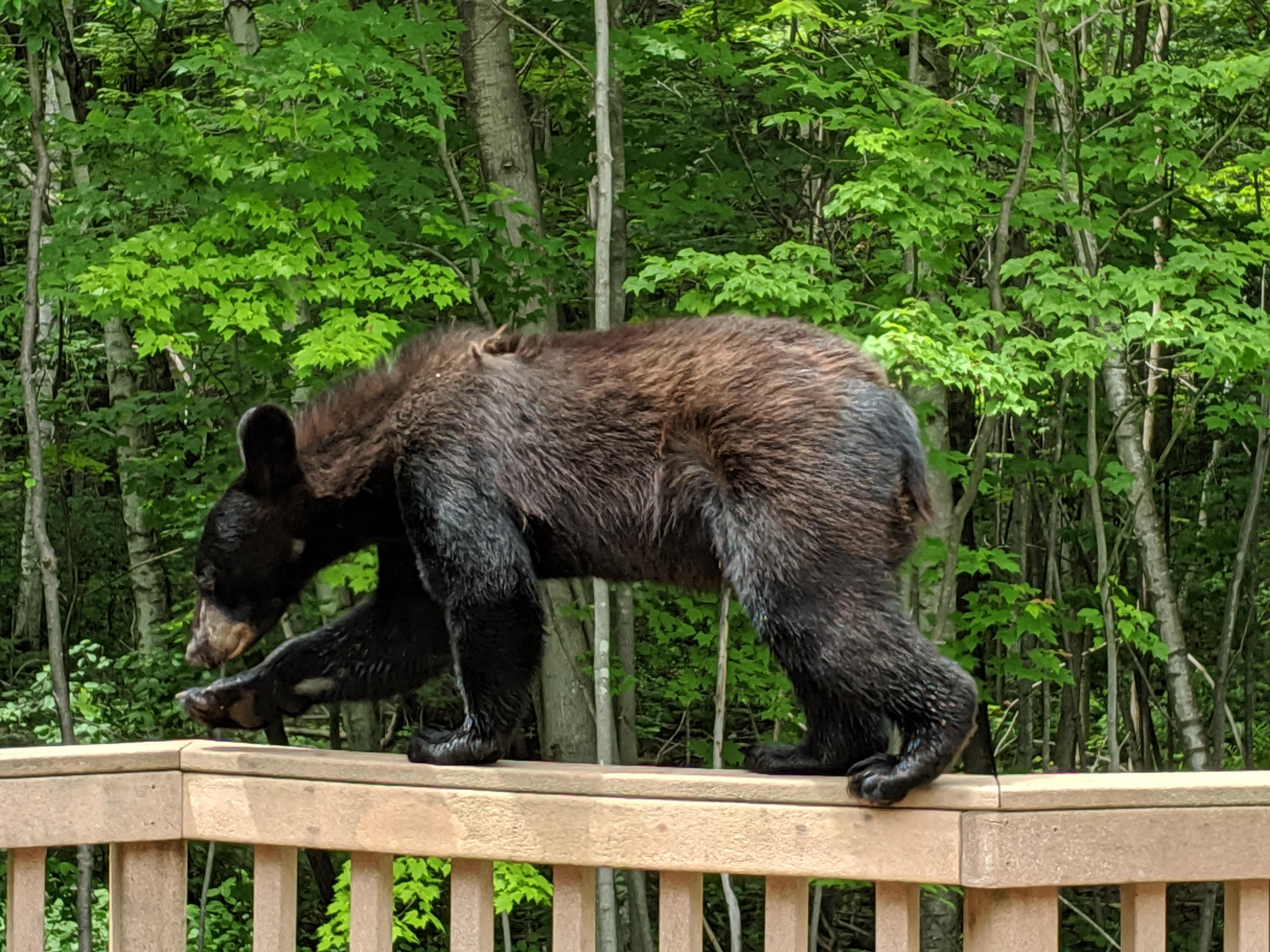 A bear walks along the railing of a deck in Suamico July 1, 2019. (Photo courtesy{ }Sherri Baierl)