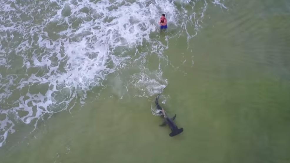 Video massive hammerhead shark reeled in on panama city for Shark fishing panama city beach