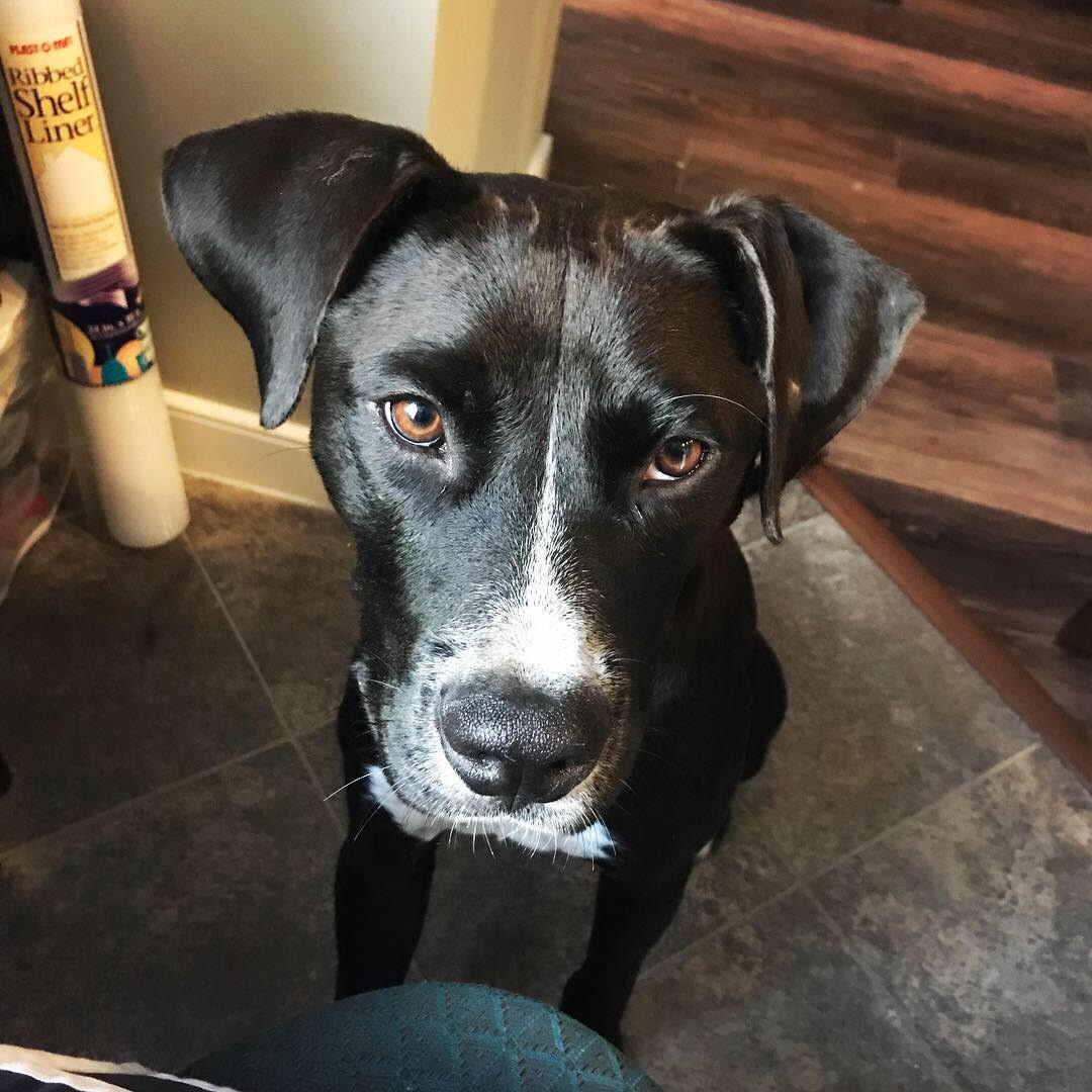 Emmerson is a 1-year-old Labrador mix who was evacuated before the storm from Hertford, North Carolina. If you are interested in adopting Emmerson, you can meet him Sunday (September 16) from 12-2 pm at the Kentlands PetSmart in Gaithersburg, MD. (Image: Courtesy Lucky Dog Animal Rescue){ }
