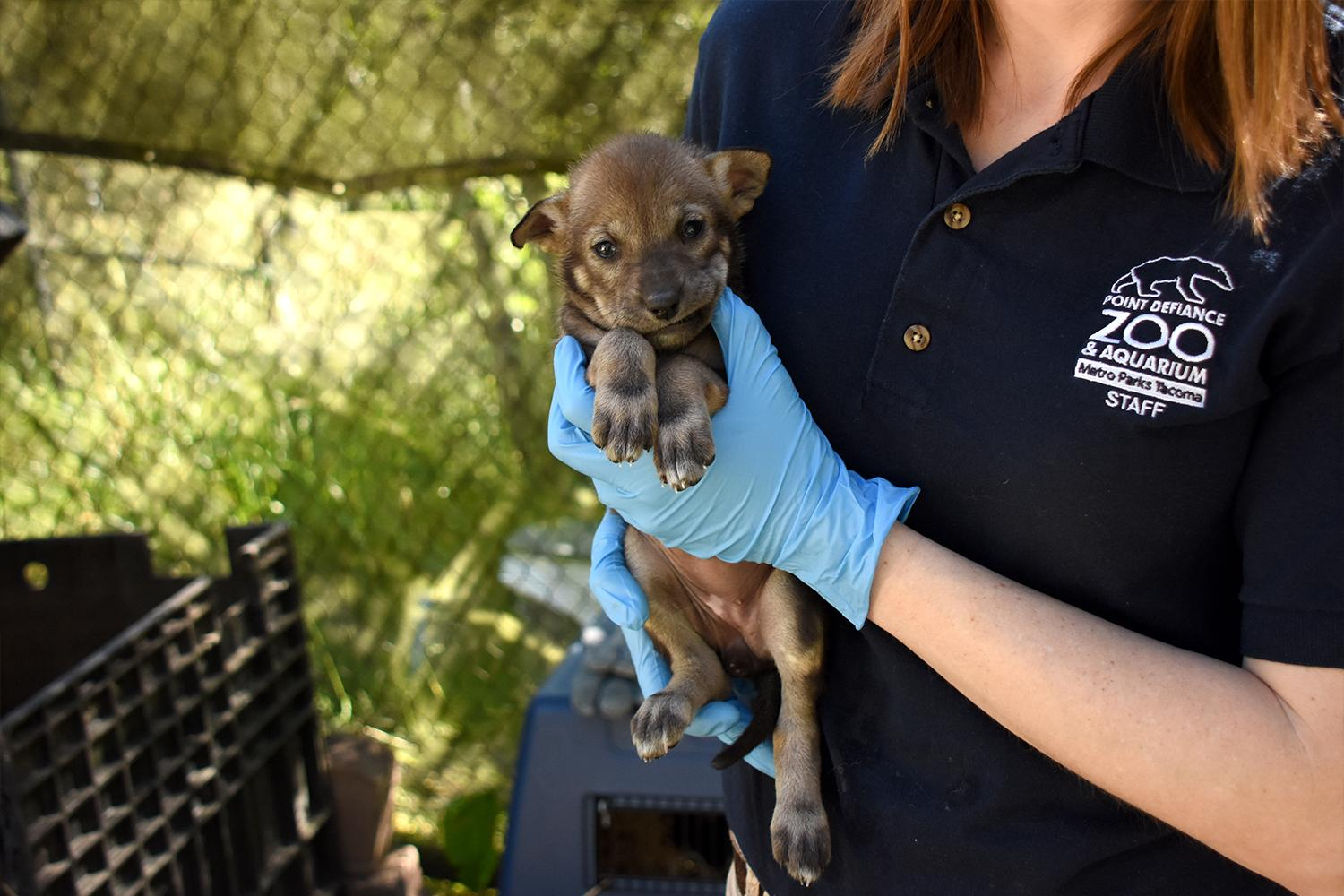 Adorable, and endangered. Meet the eight Red Wolf Pups born May 10, 2019 to the Point Defiance Zoo in Tacoma, WA. The pups have officially been named via the public and staff: Camellia, Chester, Cypress, Hawthorn, Magnolia, Myrtle, Peat and Willow! A recent exam shows all the pups are healthy, and weight between 3 and 4 pounds. While visitors to the zoo aren't guaranteed to see the little ones, each day they venture out more and more. North American red wolves are critically endangered, with only about 40 in the wild and just over 250 in zoos and wildlife centers across the nation.{ } (Photo: Katie Cotterill / Point Defiance Zoo)