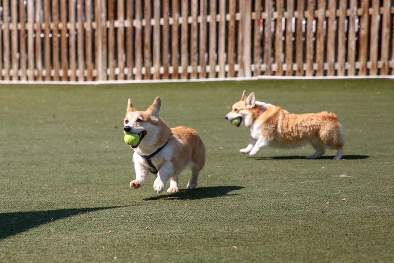 The Annapolis Corgi Club held its third annual Corgi Pool Pawty and Yappy Hour on July 14. Corgis were able to take a dip in the pool, chase after frisbees and stretch their short legs at the Dogwood Acres Pet Resort in Datonville, Maryland. (Amanda Andrade-Rhoades/DC Refined)