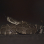 Experts say rattlesnake bites uncommon but not impossible