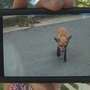 FIRST ON FOX: Dog attacked by fox in Ellicott City